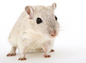 STAP細胞、別マウスで実験か? 新たな疑惑を海外紙報じる