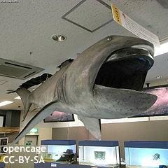 """日本、希少な「メガマウス」サメを捕獲 英米メディアは""""エイリアン""""と興奮…海外ユーザーはなぜか批判"""