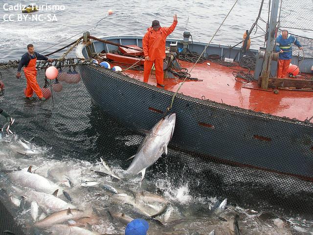 """""""930億円""""のマグロの大群出現に英紙大興奮 でも地元漁師が喜べない事情とは…"""