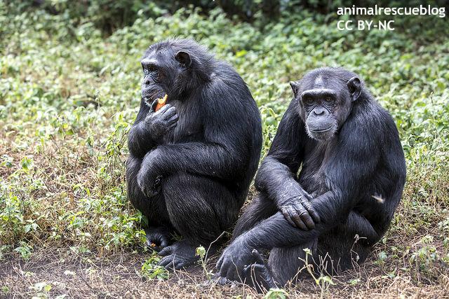 2匹のチンパンジー