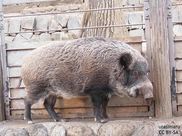 原発事故と野生動物:福島で爆発的に増加する汚染イノシシ、チェルノブイリで今も残る影響